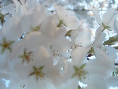 Soft (JMPrice11) Tags: white house flower tree georgia spring focus soft bloom eastpoint march06 ilovethistree