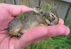 Lucky Bunny (Leviathor) Tags: 2005 baby cute bunny eye nature ilovenature hand wildlife adorable powershot tiny a80 rescued sotiny babybunny p1f1 theinterestingest