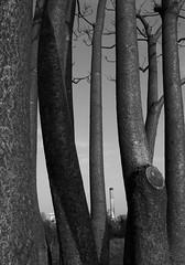 Trunk Black Stack (kreego) Tags: trees bw abstract france blackwhite frankreich smokestack gr grdigital ricoh ricohgrdigital issy issylesmoulineaux hautsdeseine grd ilestgermain ricohgrd kreego christianharberts