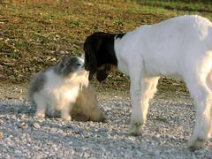 Fuzzy meets the babies (Boered) Tags: baby cat kid interestingness fuzzy goat boergoats interestingness34 i500 cc1300 cc1000 cat1000