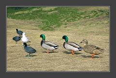 whassup dudes (Kris Kros) Tags: california ca usa bird public cali photoshop la us duck losangeles interestingness cool interesting pix seagull gull socal kris coot jjj kkg kros kriskros specnature nonhdr kk2k kkgallery