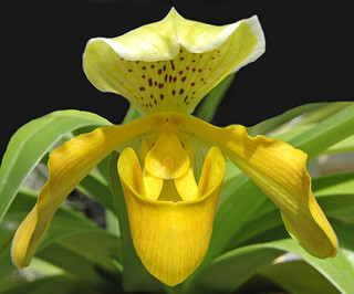 Yellow Orchid 2