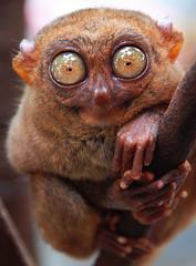 Spooky (Flipped Out) Tags: philippines interestingness1 bohol topv9999 topf100 topf200 tarsier nikonstunninggallery specanimal strangeplanet