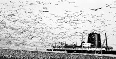 Lake Erie Gulls and Freighter (laszlo-photo) Tags: ohio bw lake home birds lakeerie kodak tmax gulls cleveland erie mather scs freighter williamgmather sswilliamgmather