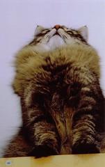 Ulli ganz oben 19 (AnnAbulf) Tags: katzen ulli babel lulli norwegischewaldkatzen ulfried gattonorvegese gattonorvegesedelleforeste