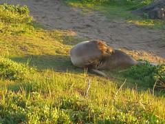 Elephant seals at Piedras Blancas (14) (marypcb) Tags: california light beach water highwayone bigsur seals sh1