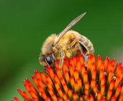 The Colour of Spring (Chi Liu) Tags: flower nature spring colours honeybee apismellifera chiliu