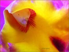 Abstraction ( Graa Vargas ) Tags: orchid flower macro colorful cattleya abstraction orquideas graavargas 2006graavargasallrightsreserved 60003301211
