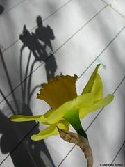 Daffodil and Shadow