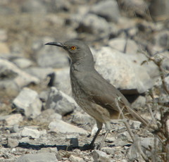 birds texas tx wildlife delrio anra lakeamistad valverdecounty amistadnationalrecreationarea bestnaturetcn06