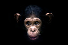 ash (owenbooth) Tags: chimp ape ash chimpanzee primate monkeyworld canoneos300d greatape ripjimcronin19522007