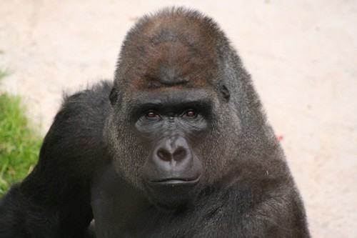 Western Lowland Gorilla: Intelligence | Flickr - Photo Sharing!