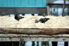 pati (Farl) Tags: wood travel sea house green colors birds yellow pigeons muslim philippines sulu stilts pati drying mindanao burung agronomy samal cottonii guso kappaphycus alvarezii sundrying mariculture sitangkai sibutu kappaphycus alvarezii kalapati