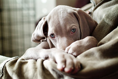 Uschi the Weimaraner by Ali-PG