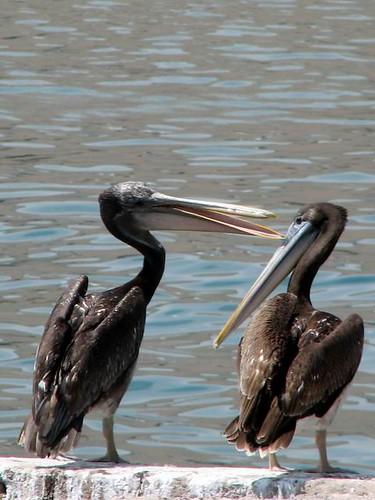 pelican conversation