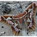 Cecropia moth or Silkworm moth (Attacus atlas)