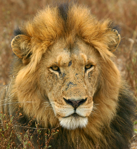 Scarface -- africa south southafrica lion kruger male scar specanimals scarface