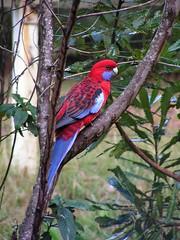 CrimsonRosella (shazzy63) Tags: bird nature australia victoria belgrave favewings