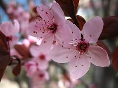Bahar-Spring (Marchnwe) Tags: pink flower tree green blossom