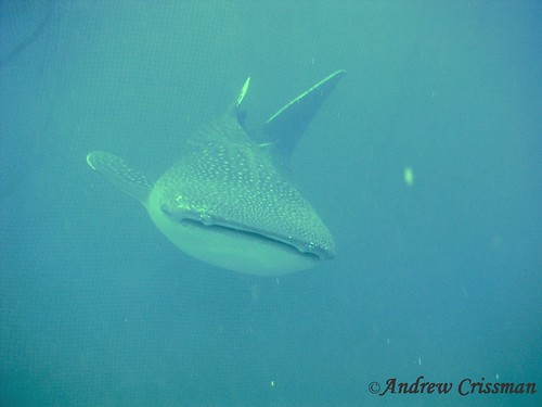 Whale Shark at Okinawa in Japan