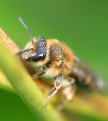 """Mining Bee(1) • <a style=""""font-size:0.8em;"""" href=""""http://www.flickr.com/photos/57024565@N00/129455306/"""" target=""""_blank"""">View on Flickr</a>"""