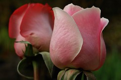 A rose of pink perfection (tollen) Tags: pink flowers flower green rose wow background gtaggroup goddaym1