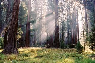 sequoia rays