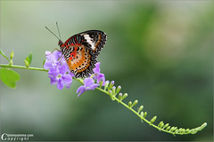 Elegance (Tommy Simms) Tags: flower macro art 20d nature topf25 butterfly bug garden georgia insect ilovenature bravo dof searchthebest bokeh quality canon20d butterflies insects 100v10f bugs canoneos20d tropical canoneos 70200 elegance butterflygardens 70200mm butterflyhouse callawaygardens naturescenes butterflywings butterflyconservatory whitebutterfly tommysimms wingsofabutterfly redlacewing 23558 ef70200mmf28lisusm 200viewswinner specnature theworldthroughmyeyes malaysianlacewing specanimal fcbutterfliesmoths cdpg 3030300 copyrightwwwtommysimmscom butterflyphoto butterflypicture butterflypictures butterlyphotos butterflyimages