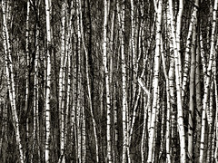 birch trees barcode (Lumatic) Tags: birch tree trees nature pattern bw black white barcode texture line lines abstract monochrome background bole log trunk trunks treetrunk logs boles birches wood forest structure fractal fractals mawep topf25 topf50 explore crowded outdoor partof nopeople brandenburg germany abundance growth tranquil scene horizontal crowd photo photos digitalphoto digitalphotos online digital photography flickr lumatic lotse photosonline photoonline picture