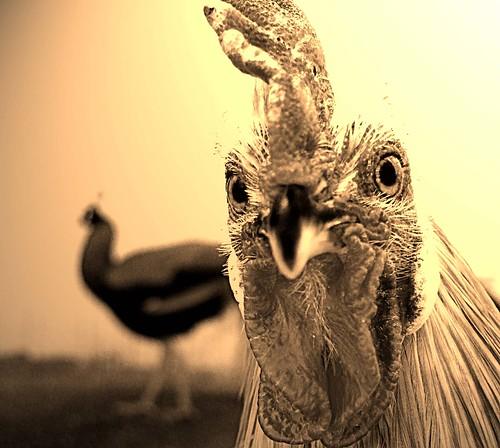 Hen Pecked ..*In UR face!