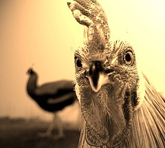 Hen Pecked ..*In UR face! (4BlueEyes Pete Williamson) Tags: ontario canada macro chicken animal topv111 closeup wow cool topv333 fuji fav1025 farm awesome topv444 123 321 f10 topv222 avianflu finepix excellent sarnia rooster upclose v300 v400 animalfarm inyourface randomset 4blueeyes henpecked thecontinuum urfavsanimals view300 greatpixgallery10faves theworldthroughmyeyes top20animailpix