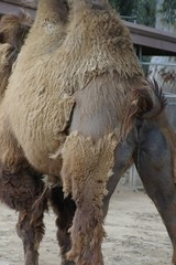 This Camel is Still Peeing! (cwgoodroe) Tags: pee animals zoo san sandiego diego sd camel