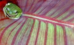 Nirvana (Jeff Clow) Tags: macro topf25 closeup amphibian explore frogs canna jeffclow specnature copyrightedbyjeffrclowallrightsreservednounauthorizedusageallowed