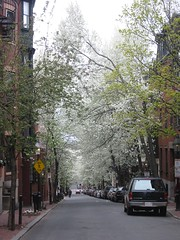Cherry Blossoms on Beacon Hill