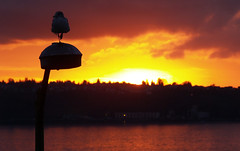 another day gone by (kylejones) Tags: seattle sunset color bird silhouette seagull gull intothesun skua landscapeorientation criticismwelcome