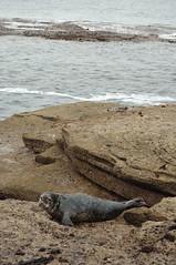 seal whitleybay nagillum stmaryslighthouse