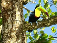 Keel-billed Toucan (Corciega) Tags: vacation costa bird nature toucan wildlife rica