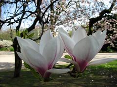 Magnolia 2 (Supermietzi) Tags: park pink two flower beautiful beauty natur bloom magnolia blume düsseldorf weiß baum duesseldorf zwei hofgarten blüten magnolie schön