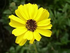 bright spot (debaird™) Tags: ca flower nature yellow bokeh 2006 oc trabucocanyon shalliputitontheunderhillaccountseñor
