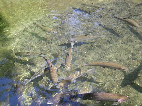Trout at the fish hatchery