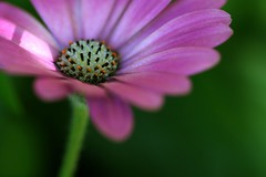 Sweetness and Light (code poet) Tags: pink white black flower macro green topf25 beautiful topv111 wow topv555 topv333 bokeh topv1111 topv999 100v10f 100mm apex topv777 africandaisy osteospermum hilight
