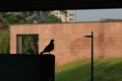 (Mark Rutter) Tags: uk england silhouette all pigeon side echo profile odd f3 coventry midlands i20 i120 markrutter