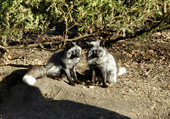 pair of silver foxes (bea2108) Tags: animal animals zoo fox foxes silverfox