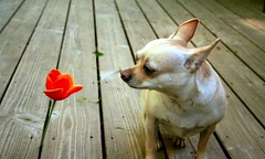 Chi-Chi Stops to Sniff the Flower (Patflinschrod) Tags: orange dog chihuahua flower wow outside deck 25 mostinteresting aw chichi top20cute cmcmay interestingness2may22006explore impressedbeauty