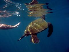 Don't touch the turtle (jetrotz) Tags: animal hawaii honeymoon underwater screensaver turtle kauai ✔