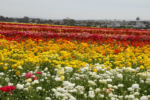 At the Flower Fields