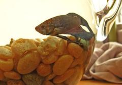 zen. (tucci) Tags: fish tag3 taggedout tag2 tag1 fishbowl zen hqf0506 hq0506