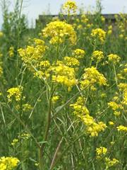 DSCF1655 (brandyb) Tags: plants green philadelphia weeds herbs urbanjungle survival reclamation greenspace landuse openfields pecoplant