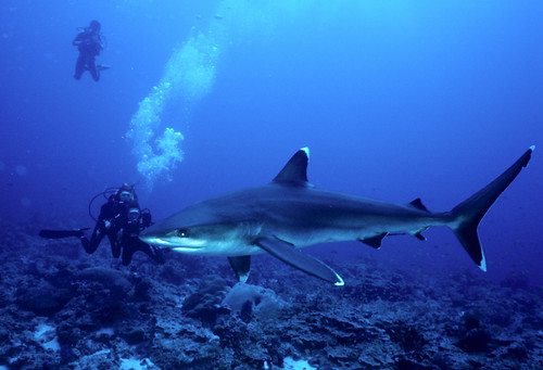 Silvertip Shark at Burma Banks near Phuket, Thailand
