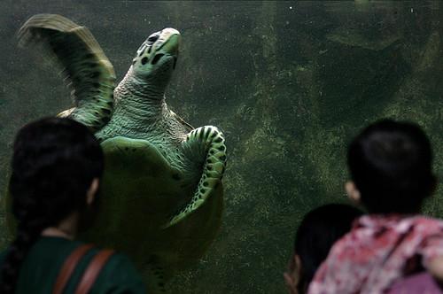 Meeresschildkroete - Taraporewala Aquarium Mumbai